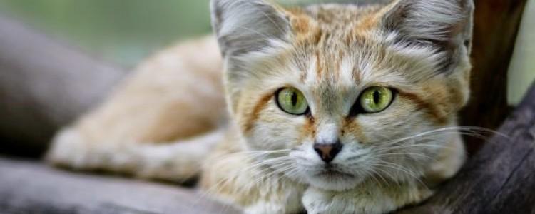 Барханный кот: особенности характера и внешности, фото пустынной кошки