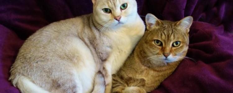 Кошка бурмилла: фото, описание, характер, цены, питомники, отзывы