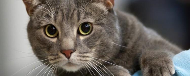 Европейская короткошерстная кошка: все о кошке, фото, описание породы, характер