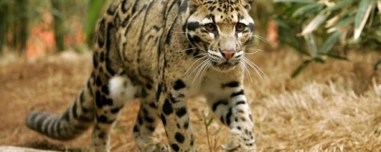 Дымчатый леопард Фото, описание, ареал, питание, враги
