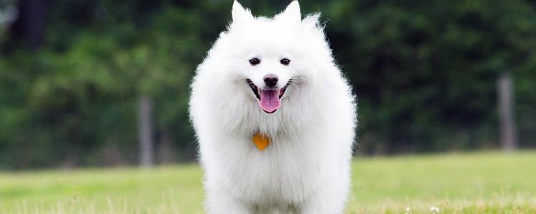Американский эскимосский той шпиц: описание, стандарт породы, характер и дрессировка собаки, цена щенков, фото