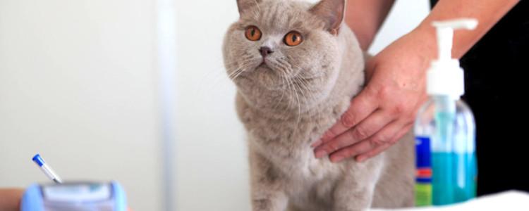 Липома у кошки на животе, спине и в других местах: как отличить жировик от опухоли и удалить его?