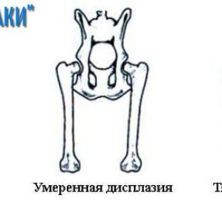Дисплазия локтевого сустава у собак: особенности заболевания, лечение, профилактика