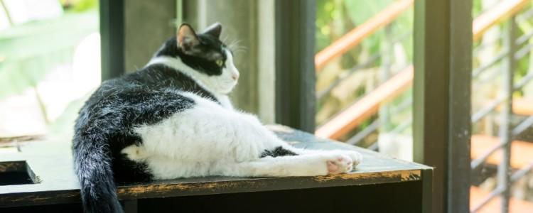 Дисплазия суставов у кошек: что такое, причины развития, первые признаки патологии, породная предрасположенность, лечение, последствия заболевания