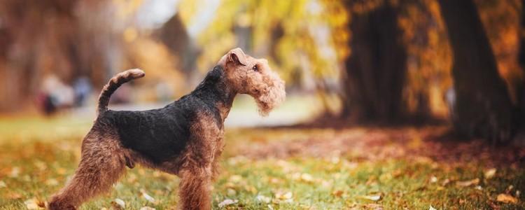 Вельштерьер: все о собаке, фото, описание породы, характер, цена