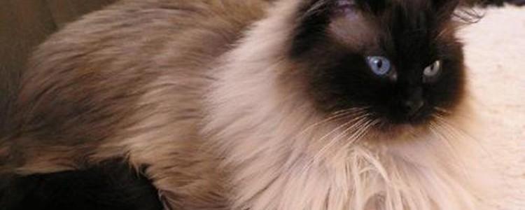 Гималайская кошка: все о кошке, фото, описание породы, характер, цена