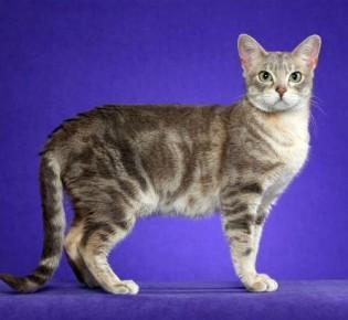 Австралийский мист: внешний вид дымчатой кошки, характер, уход и содержание, кормление