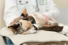 Закупорка кишечника у кота: причины, симптомы и лечение непроходимости в домашних условиях