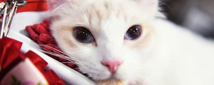 Американский керл — фото, описание, характер, факты, плюсы, минусы кошки