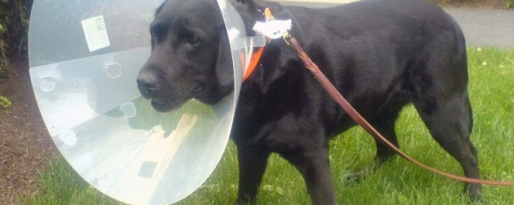 Защитный воротник для собаки: как сделать своими руками, размеры, как одеть мягкий, надувной
