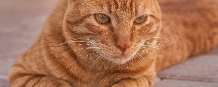 Аравийский мау: фото кошки, цена, описание породы, характер, видео, питомники