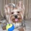 Беременность йорка по дням подробно, советы для владельцев мелких собак