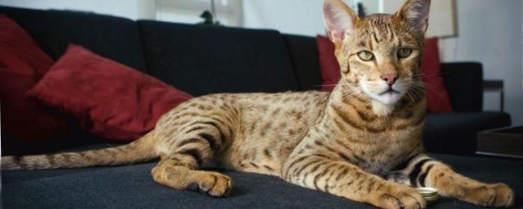 Самые большие кошки в мире – ТОП 10 с фото