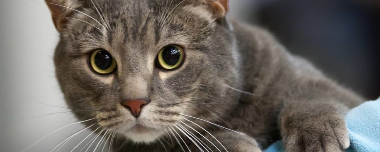 Как правильно давать Ветом кошке: дозировка, обзор официальной инструкции