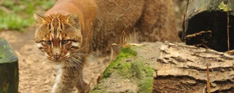 Семейство кошачьих – виды и представители хищных животных