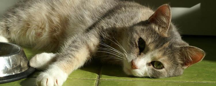 Гастрит у кошек: причины и симптомы, лечение и профилактика, чем кормить