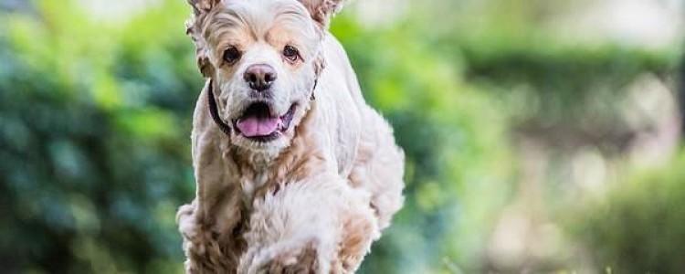 Американский кокер-спаниель — фото, описание, характер, факты, плюсы, минусы собаки
