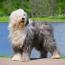 Бородатый колли — фото, описание породы собак, особенности характера