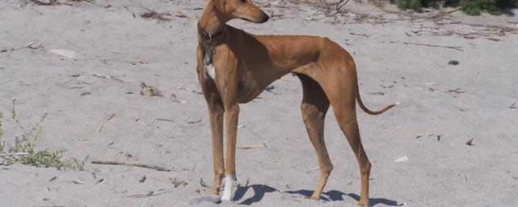 Азавак − фото собаки, описание, характер породы, цена щенков