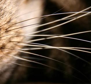 Почему котам нельзя стричь усы, что будет, если их подстричь, зачем они нужны кошке?