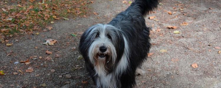 Бобтейл — порода собак