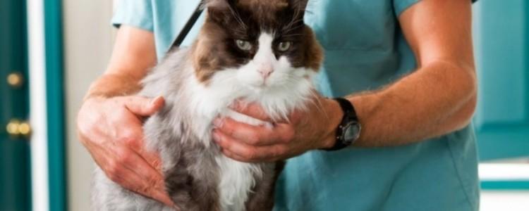 Гепатит у кошек: основные причины, виды, симптомы, лечение и диета
